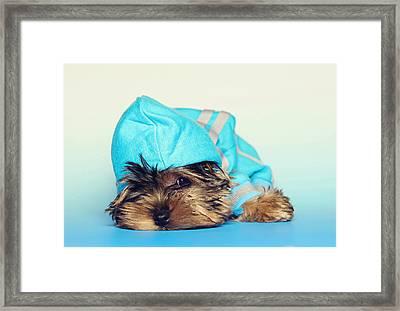 Lazy Yorkshire Terrier Framed Print