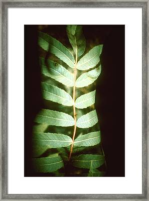 Leaf Frond Framed Print by Arla Patch