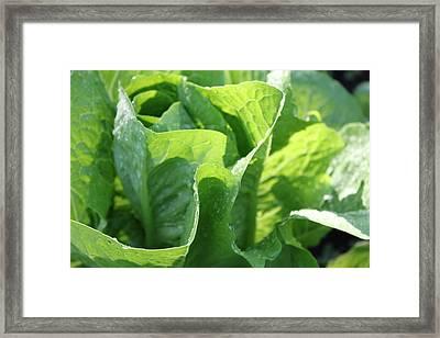 Leaf Lettuce Framed Print by Lauri Novak