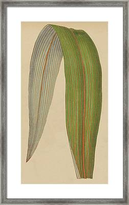 Leaf Of A Mountain Cabbage Tree Or Bush Flax Framed Print by English School