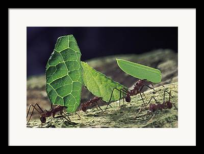 Leaf-cutter Ant Framed Prints