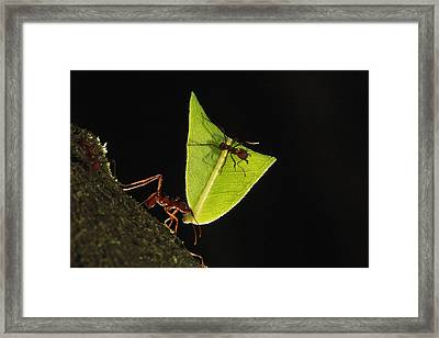 Leafcutter Ant Atta Sp Carrying Leaf Framed Print