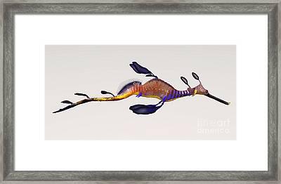 Leafy Seadragon Framed Print by Corey Ford