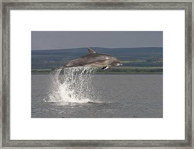 Leaping Bottlenose Dolphin  - Scotland #39 Framed Print
