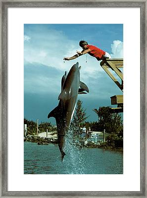 Leaping Dolphins At Hawks Cay Framed Print by Carl Purcell