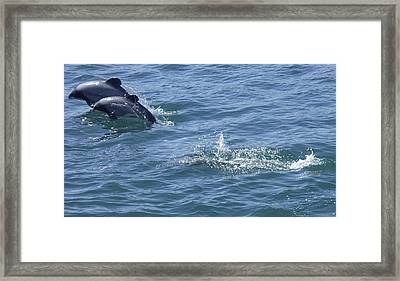 Leaping Hector's Dolphins Framed Print