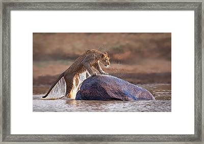 Leaping Lioness Framed Print by Stu  Porter