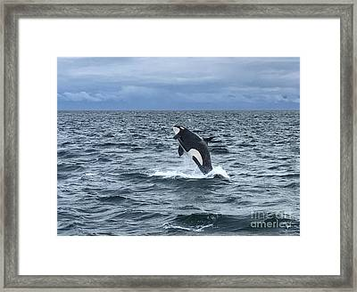 Leaping Orca Framed Print