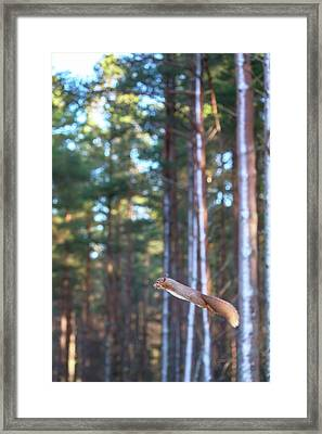 Leaping Red Squirrel Tall Framed Print