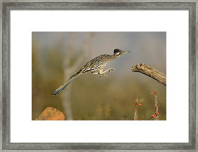 Leaping Roadrunner Framed Print by Scott  Linstead