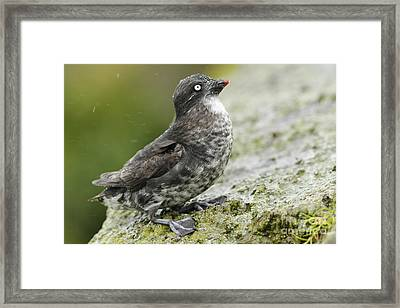 Least Auklet Framed Print by Desmond Dugan/FLPA