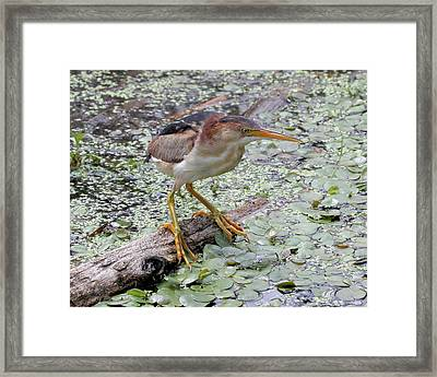 Framed Print featuring the photograph Least Bittern by Doris Potter