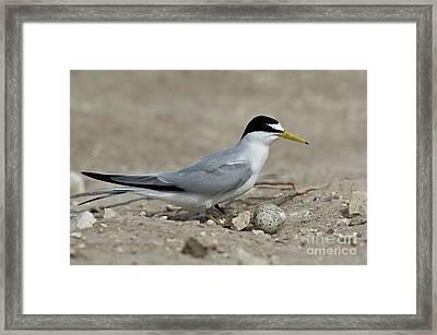 Least Tern With Eggs Framed Print by Anthony Mercieca