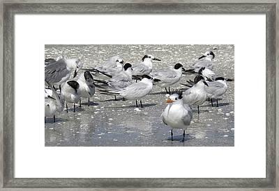 Least Terns Framed Print by Melinda Saminski