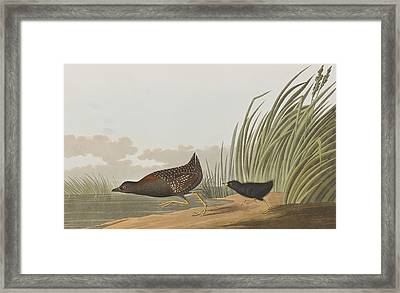 Least Water Hen Framed Print by John James Audubon