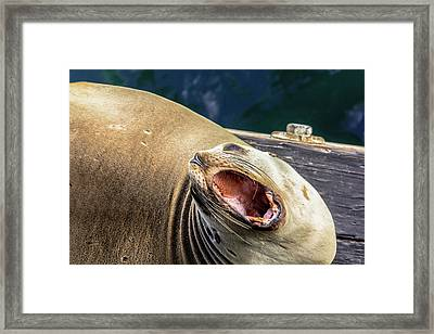 California Sea Lion Yawn Framed Print