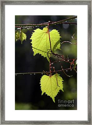 Leaves Of Grapevine After Rain Framed Print by Michal Boubin