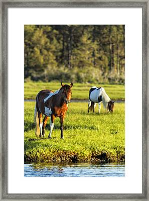 Leaving The Chincoteague Ponies Framed Print