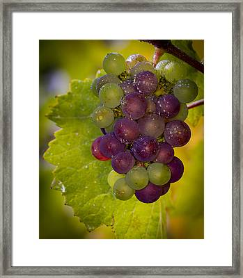 Leftover Pinot Cluster Framed Print by Jean Noren