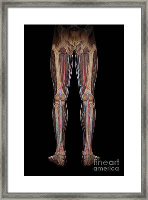 Leg Blood Supply Framed Print by Science Picture Co