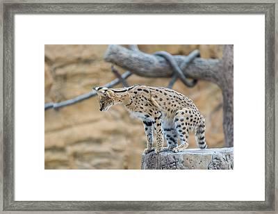 Leggy Cat Framed Print by Josef Pittner