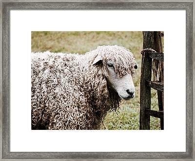 Leicester Longwool Framed Print
