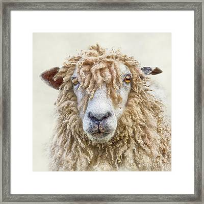 Leicester Longwool Sheep Framed Print