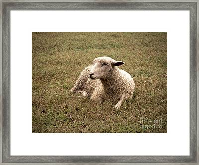 Leicester Sheep In The Dewy Grass Framed Print