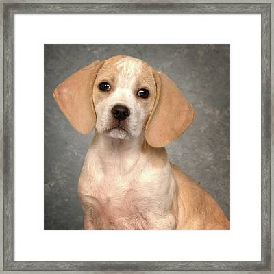 Lemon Beagle Puppy Framed Print