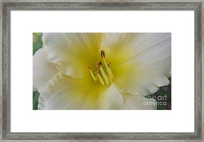 Lemon Daylily Framed Print