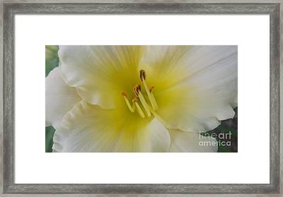 Lemon Daylily Framed Print