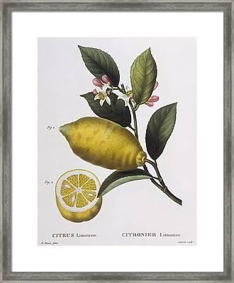 Lemon Framed Print by Pancrace Bessa