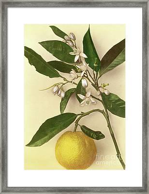 Lemon Framed Print by Pietro Guidi