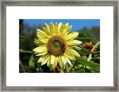 Lemon Queen In September I Framed Print by Jeff Severson