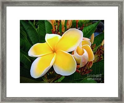 Lemon Yellow Plumeria Framed Print