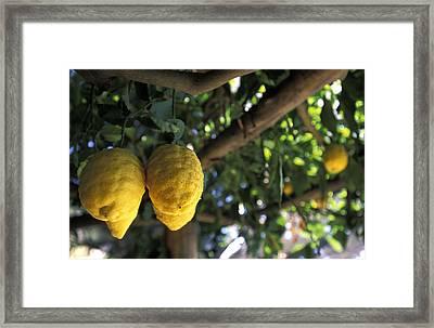 Lemons Hanging From A Lemon Tree Framed Print by Richard Nowitz