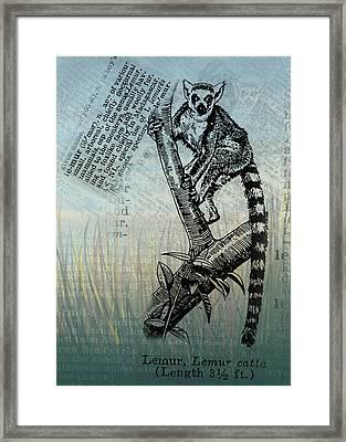 Lemur Catta Framed Print