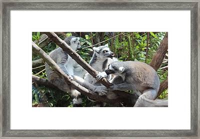 Lemur Family 1 Framed Print by Tim Michael Ufferman