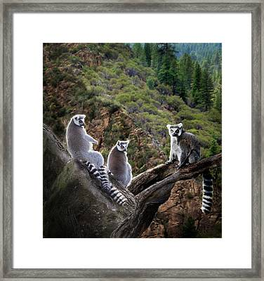 Lemur Family Framed Print