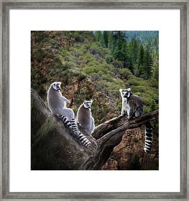 Lemur Family Framed Print by Melinda Hughes-Berland