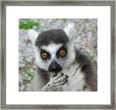 Lemur Snacktime Thoughts Framed Print by Margaret Saheed