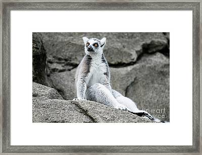 Lemur The Cutie Framed Print