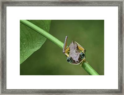 Framed Print featuring the photograph Lemur Tree Frog - 1 by Nikolyn McDonald