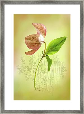 Lenton Rose 1 Framed Print