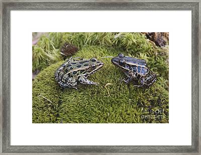 Leopard And Pickerel Frogs Framed Print by John Serrao