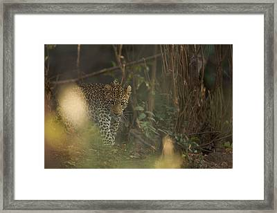 Leopard Comes Out Of The Bush Framed Print by Johan Elzenga