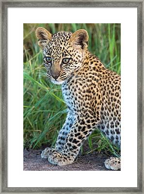 Leopard Cub Panthera Pardus, Serengeti Framed Print by Panoramic Images
