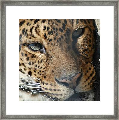 Framed Print featuring the photograph Leopard Face by Richard Bryce and Family