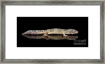 Leopard Gecko Eublepharis Macularius Isolated On Black Background Framed Print