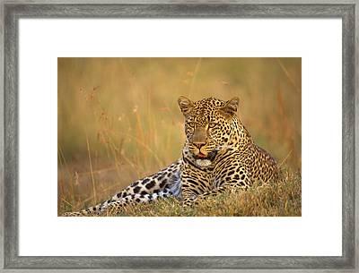 Leopard Framed Print by Johan Elzenga